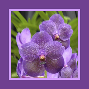 Violet Orchid square for repeat and custom designs by Debra Cortese