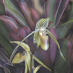 yellow green striped slipper orchids against burgundy green bromeliads