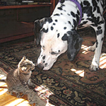 Kitten and Dalmatian kissing