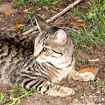 Dui, tiger stripe cat in yard, listening