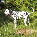 Lena, dalmatian posing in tropical yard