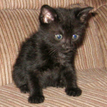 baby Sammy, scruffy black kitten, scared look