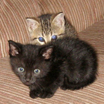 Baby furballs, black kitten and tiger strip kitten on sofa