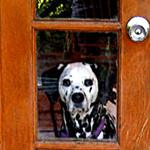 Lena, dalmatian at the door, looking through glass window