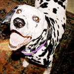 Lena smiling, dalmatian smiling, happy dog