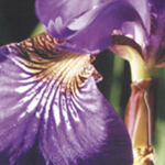 Purple Iris, Iris Gnome by Debra Cortese Plant Spirit Image series