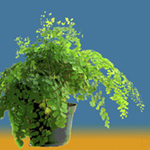 Maidenhair Fern, potted plant, greens, blue and orange background, Nature's Energy by Debra Cortese