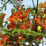 Royal Poinicana tree, orange, rich colors and contrasts, yellows, greens, pods and leaves