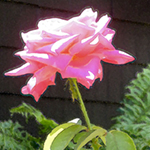 Glowing pink rose, Nature's Energy image by Debra Cortese
