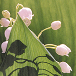 Lily of the Valley, pink white flowers against soft green leaves. Vermont Garden image by Debra Cortese. Plant Spirit Image series