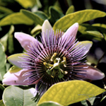 Purple Passion Flower, photo by Debra Cortese