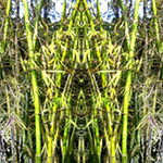 Bamboo Forest Reflection. Nature'e Energy Reflections series by Debra Cortese