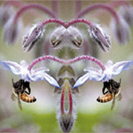 Bees and Borage Devas. Nature'e Energy Reflections series by Debra Cortese