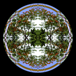 Royal Poinciana Round. Nature'e Energy Reflections series by Debra Cortese