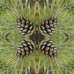 Nantucket Pinecones. Nature'e Energy Reflections series by Debra Cortese