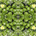 Glistening Lilies Reflection for patterns, custom designs by Debra Cortese