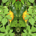 Orange Pod Vine Reflection. Nature'e Energy Reflections series by Debra Cortese
