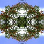 Royal Poinciana Reflections. Nature'e Energy Reflections series by Debra Cortese
