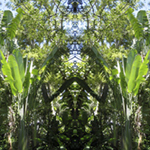 Traveller's Palm. Pinecrest Gardens. Nature'e Energy Reflections series by Debra Cortese