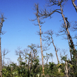 Key Deer Forest trees and blue sky, Big Pine Key, Florida by Debra Cortese