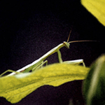 praying mantis posing gracefully on yellow green leaf, dark, rich background, watercolor effect, by Debra Cortese