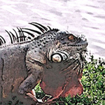 Rather large, nasty looking iguana at Barnes Park, Miami, FL by Debra Cortese