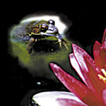 frog and red lily in pond, by Debra Cortese