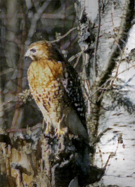 red hawk detail