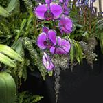 magenta vanda orchid cascade against velvet black