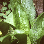 Comfrey, medicinal plant, weed. Catskill Mountain/Plant Spirit Image series by Debra Cortese