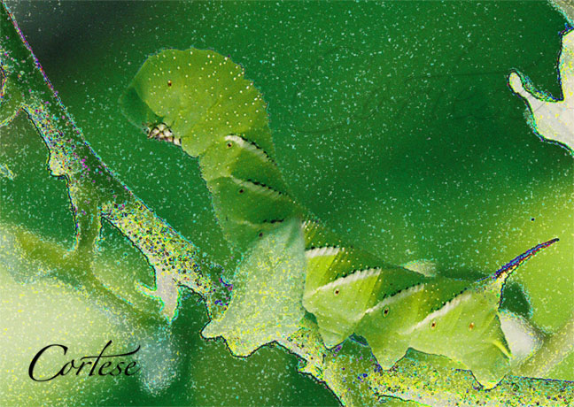 Green Horned Caterpillar Close Up - Nature\'s Energy Art by Debra Cortese 4.08