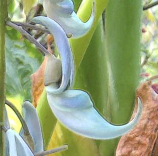 Strongylodon macrobotrys emerald creeper Jadevine