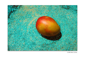 Mango Blue Plate by Debra Cortese
